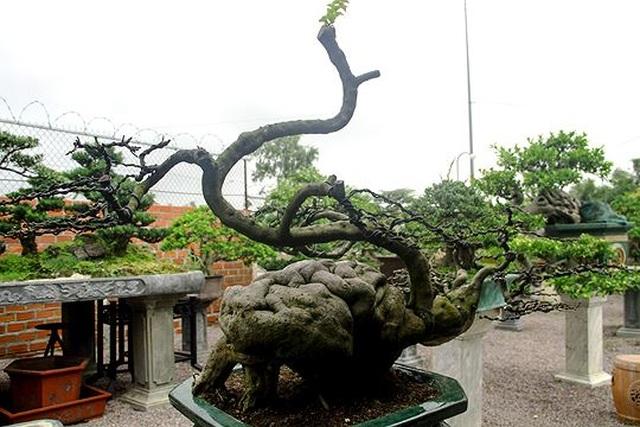 Ngắm vườn bonsai cực chất giá trăm tỷ đồng ở Bình Định - 7