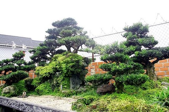 Ngắm vườn bonsai cực chất giá trăm tỷ đồng ở Bình Định - 8