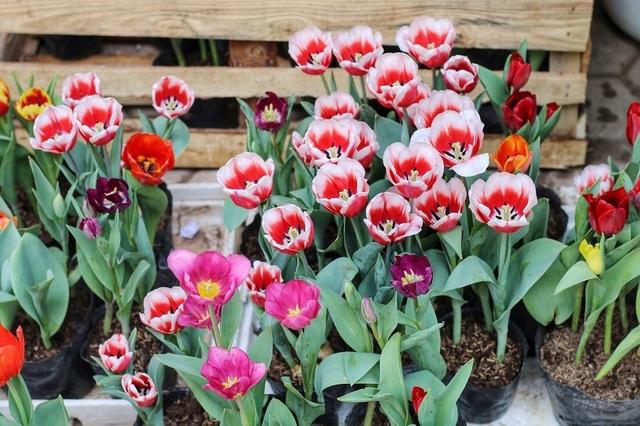 Ngàn hoa khoe sắc đón Xuân tại con đường hoa lớn nhất Hà Nội - 9