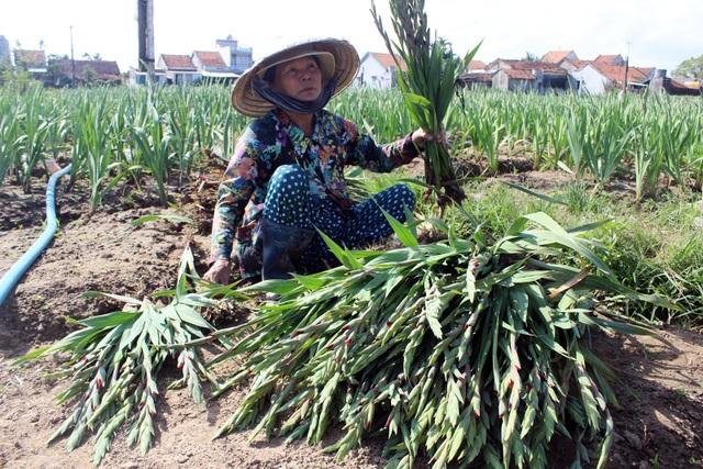 Phú Yên: Người trồng hoa Lay ơn lao đao vì giá giảm sâu - 3