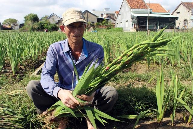 Phú Yên: Người trồng hoa Lay ơn lao đao vì giá giảm sâu - 6