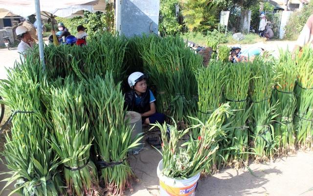 Phú Yên: Người trồng hoa Lay ơn lao đao vì giá giảm sâu - 8