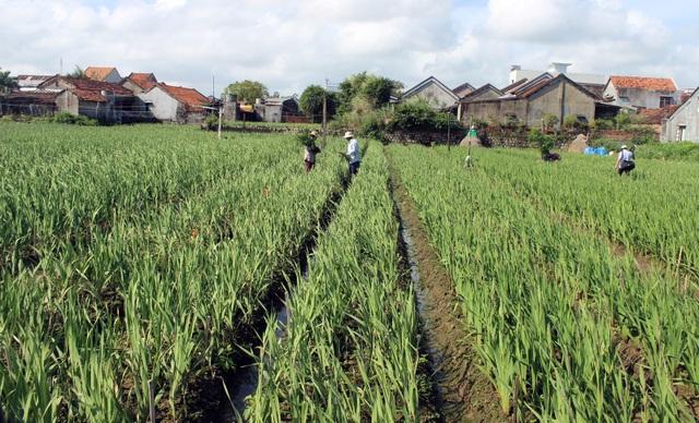 Phú Yên: Người trồng hoa Lay ơn lao đao vì giá giảm sâu - 2