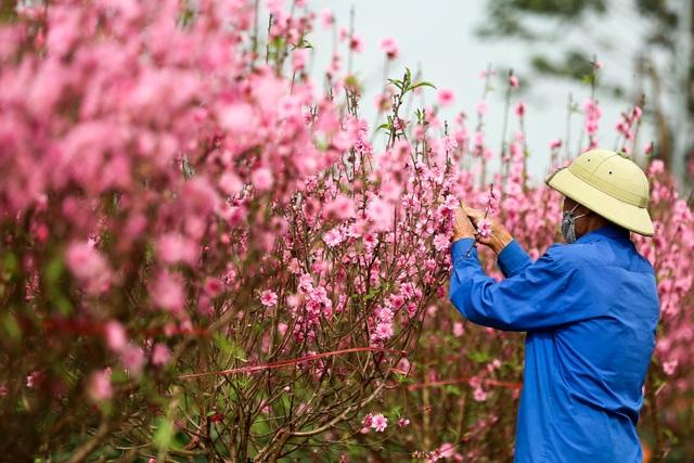 Người trồng đào Nhật Tân lo mất Tết do đào nở rộ - 8