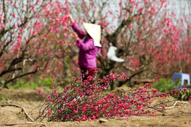 Người trồng đào Nhật Tân lo mất Tết do đào nở rộ - 7