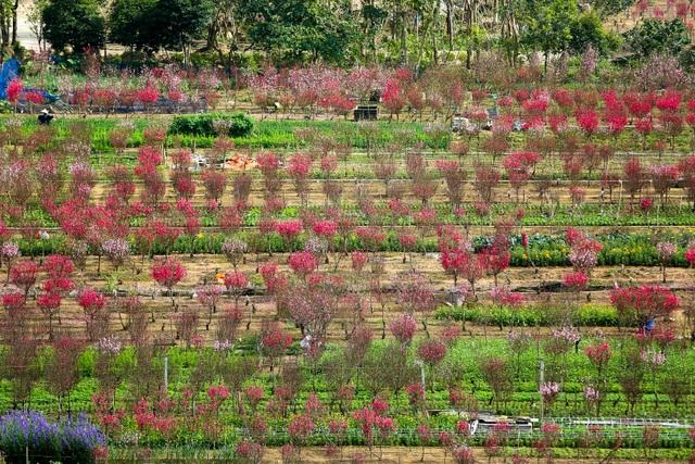 Người trồng đào Nhật Tân lo mất Tết do đào nở rộ - 1