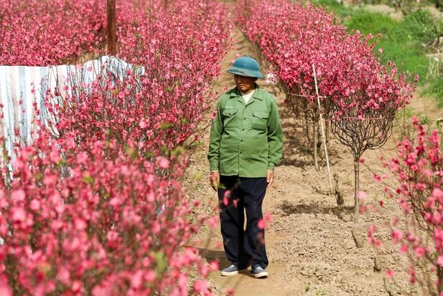 Người trồng đào Nhật Tân lo mất Tết do đào nở rộ - 4