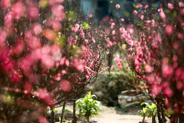 Người trồng đào Nhật Tân lo mất Tết do đào nở rộ - 10
