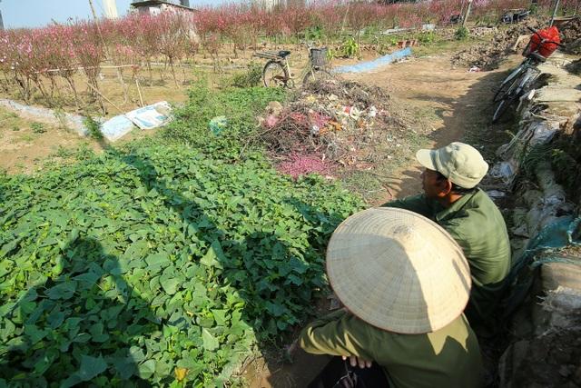 Người trồng đào Nhật Tân lo mất Tết do đào nở rộ - 12
