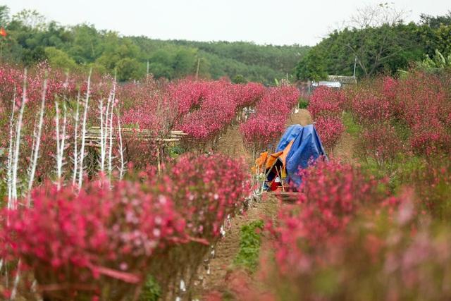 Người trồng đào Nhật Tân lo mất Tết do đào nở rộ - 5