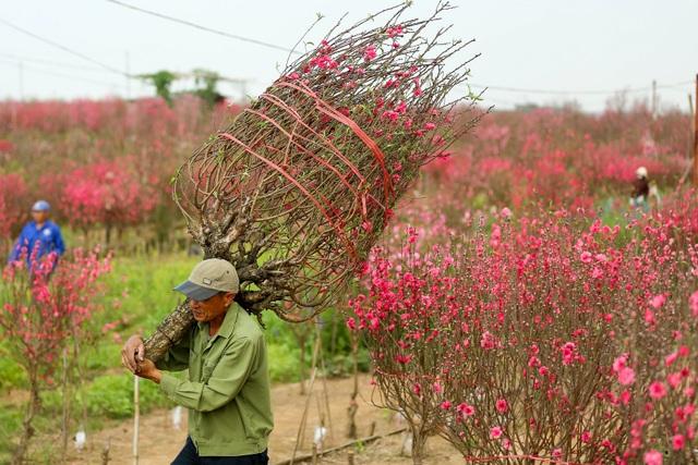 Người trồng đào Nhật Tân lo mất Tết do đào nở rộ - 9
