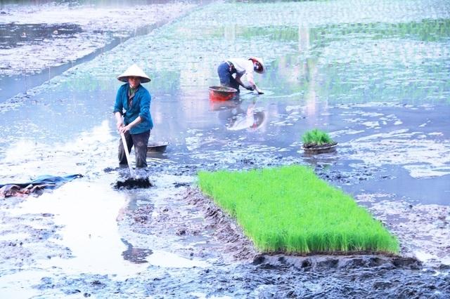 Hoãn sắm Tết để... tập trung cấy lúa - 2
