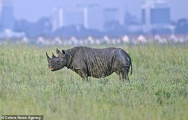 Vì sao những động vật lớn tiến hoá để đi bằng mũi chân? - 1