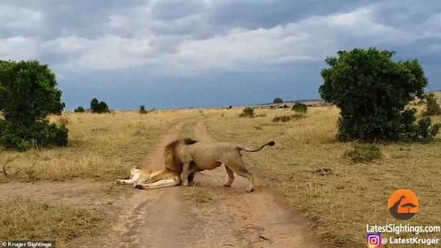 """Sư tử cái """"nổi điên"""", tấn công """"bạn tình"""" vì bị đánh thức bất ngờ - 1"""