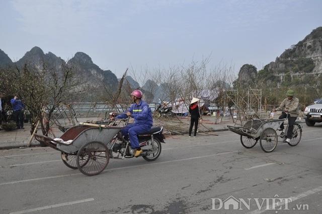 Quảng Ninh: Chở thuê đào, quất Tết, hái ngon ơ tiền triệu/ngày - 1