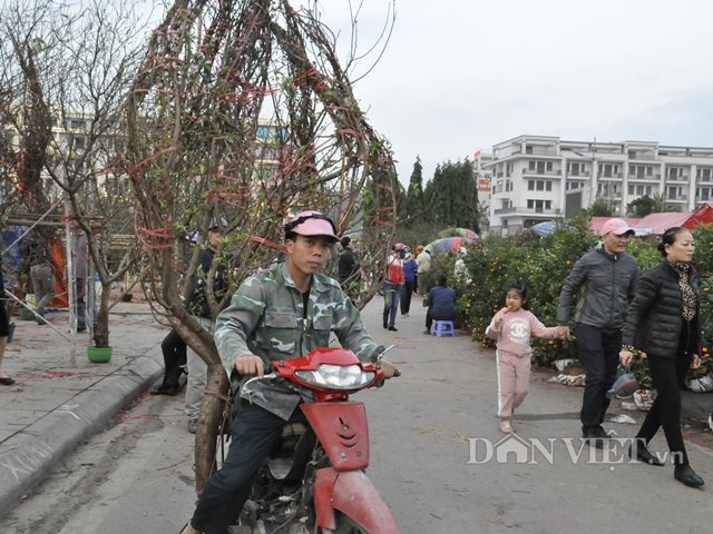 Quảng Ninh: Chở thuê đào, quất Tết, hái ngon ơ tiền triệu/ngày - 7