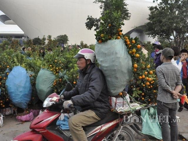 Quảng Ninh: Chở thuê đào, quất Tết, hái ngon ơ tiền triệu/ngày - 8