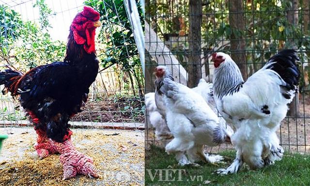 Sính ngoại: 15 triệu đồng đôi gà, đại gia vẫn xuống tiền vì hàng độc - 3