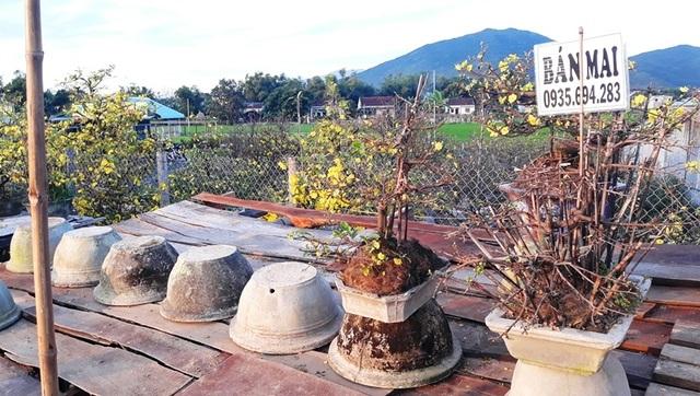 Chưa đến Tết, người trồng mai đã đưa mai về vườn… cất! - 3