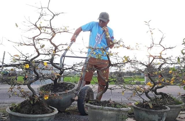 Chưa đến Tết, người trồng mai đã đưa mai về vườn… cất! - 2