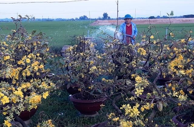 Chưa đến Tết, người trồng mai đã đưa mai về vườn… cất! - 4
