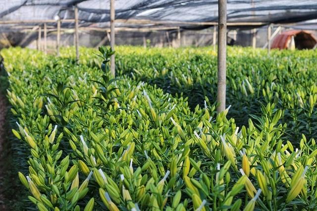 Lạc giữa cánh đồng hoa ly lớn nhất Hà Nội những ngày giáp Tết - 12