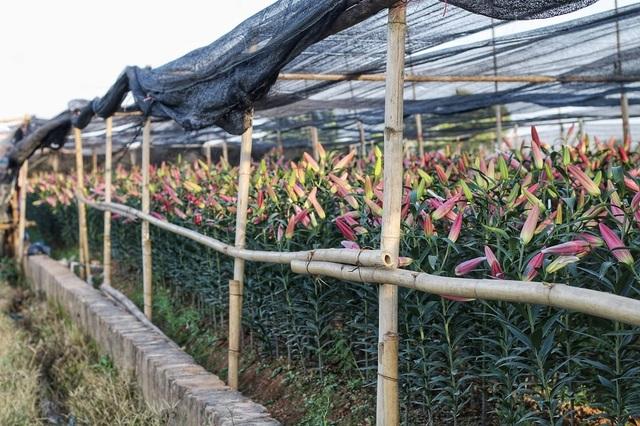 Lạc giữa cánh đồng hoa ly lớn nhất Hà Nội những ngày giáp Tết - 15