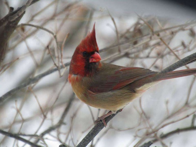 Độc đáo chim hồng y có ngoại hình nửa đực, nửa cái siêu hiếm - 1