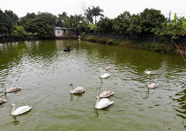 Mục sở thị trang trại thiên nga bán cho nhà giàu Hà Nội - 1