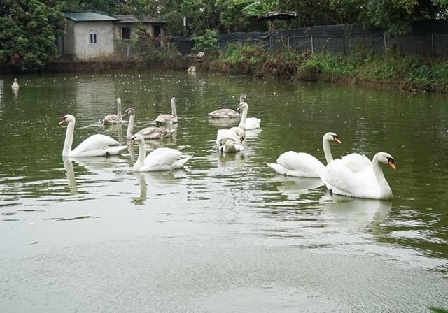 Mục sở thị trang trại thiên nga bán cho nhà giàu Hà Nội - 5