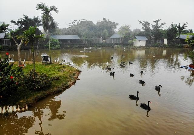 Mục sở thị trang trại thiên nga bán cho nhà giàu Hà Nội - 7