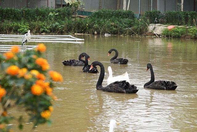 Mục sở thị trang trại thiên nga bán cho nhà giàu Hà Nội - 8