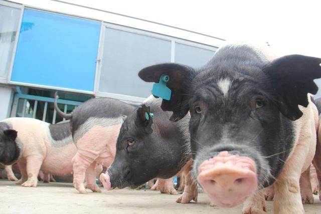Năm con lợn kể chuyện xây bể tắm nóng lạnh cho lợn  - 4
