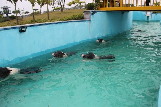 Năm con lợn kể chuyện xây bể tắm nóng lạnh cho lợn  - 7