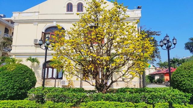 Mai khủng trăm năm tuổi đón năm mới bằng tán hoa vàng rực rỡ - 8