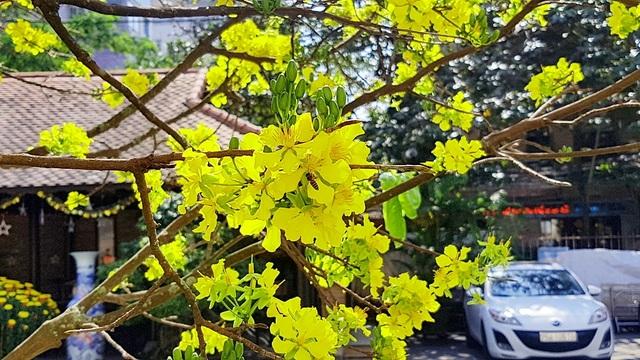 Mai khủng trăm năm tuổi đón năm mới bằng tán hoa vàng rực rỡ - 6