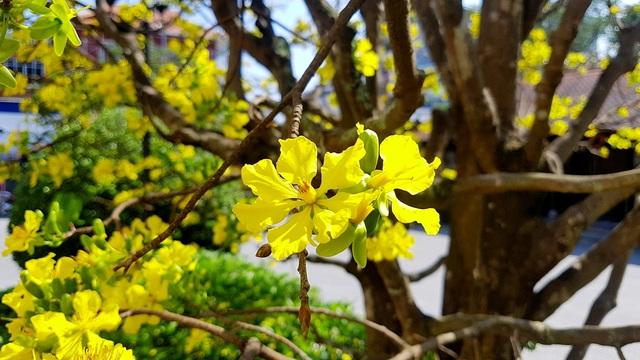 Mai khủng trăm năm tuổi đón năm mới bằng tán hoa vàng rực rỡ - 4