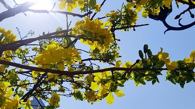 Mai khủng trăm năm tuổi đón năm mới bằng tán hoa vàng rực rỡ - 5