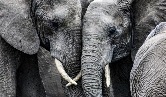 Các loài động vật lớn nhất Trái Đất đứng trước nguy cơ tuyệt chủng là do con người - 1