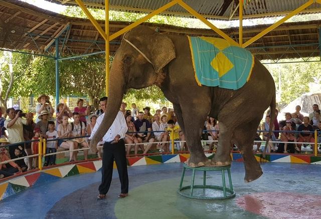 Nín thở xem voi 36 tuổi đi qua bụng người ở Khánh Hòa - 3