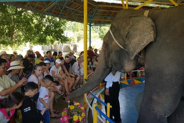 Nín thở xem voi 36 tuổi đi qua bụng người ở Khánh Hòa - 4