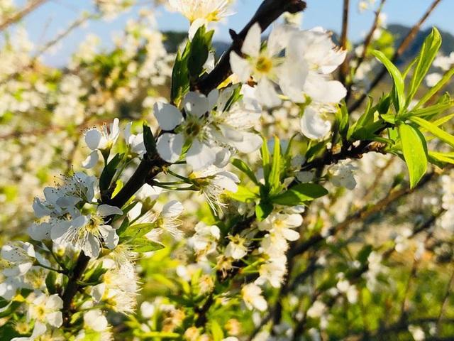 Mê mẩn những cánh đồng hoa đẹp như thiên đường ở Mộc Châu - 1