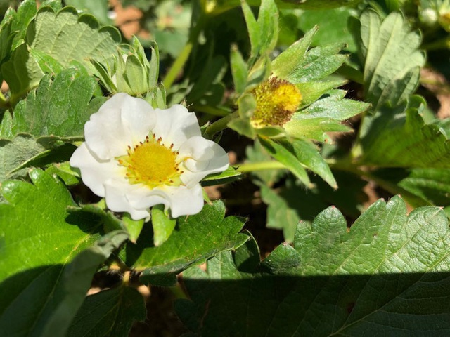 Mê mẩn những cánh đồng hoa đẹp như thiên đường ở Mộc Châu - 13