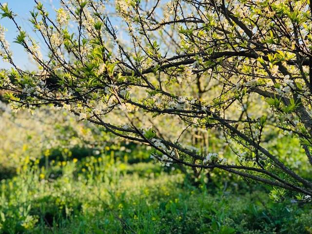 Mê mẩn những cánh đồng hoa đẹp như thiên đường ở Mộc Châu - 2