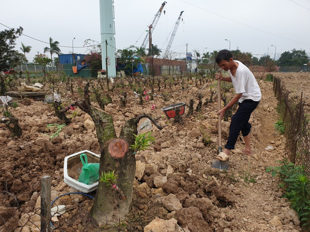 Người trồng đào Phú Thượng tất bật chuẩn bị vụ mới - 11