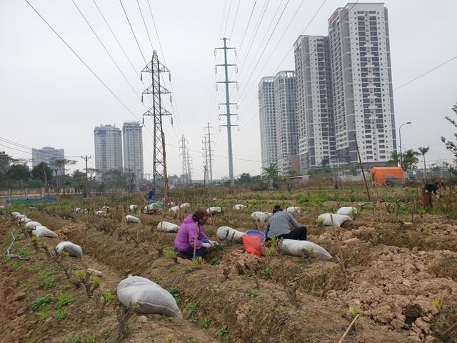 Người trồng đào Phú Thượng tất bật chuẩn bị vụ mới - 6