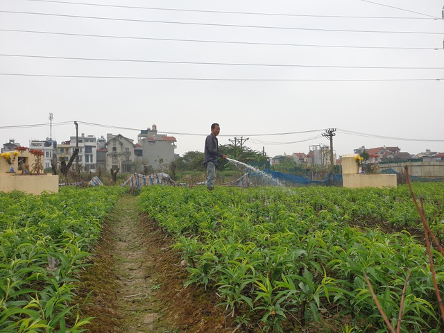 Người trồng đào Phú Thượng tất bật chuẩn bị vụ mới - 8