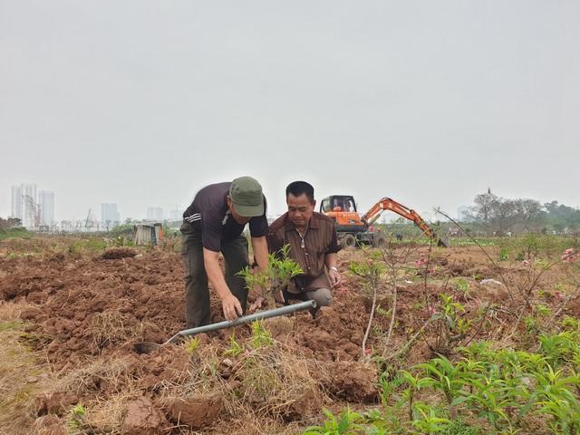 Người trồng đào Phú Thượng tất bật chuẩn bị vụ mới - 10