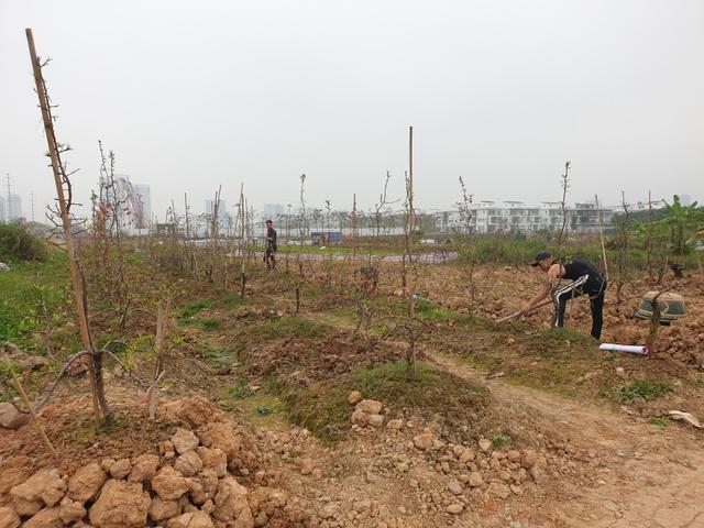 Người trồng đào Phú Thượng tất bật chuẩn bị vụ mới - 14