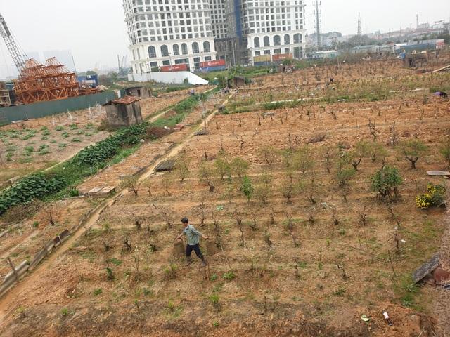 Người trồng đào Phú Thượng tất bật chuẩn bị vụ mới - 13